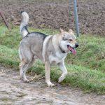 Chien-loup se promenant