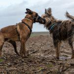 chiens se faisant la bise