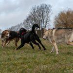 chien-loup et ses partenaires de jeu