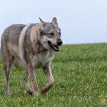 chien-loup majestueux