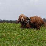 Cocker dans l'herbe