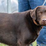 Labrador Chocolat au regard doux