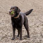 Labrador Chocolat avec une betterave