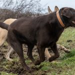 Labrador chocolat de profil