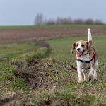 Beagle en action