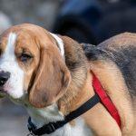 Beagle pensif