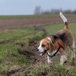Beagle en ballade