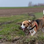 beagle en balade avec animal behaviour center