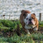 Bouledogue Anglais en action