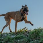 Malinois patte en l'air