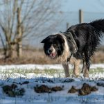 Border Collie intrigué