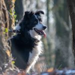 Border Collie posant langue pendue
