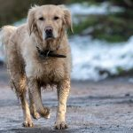 Golden Retriever trottinant