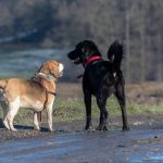 Beagle et Golden Retriever