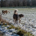 Border collie et Malinois qui trottinent