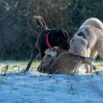 Interactoin entre Beagle, Husky et Golden