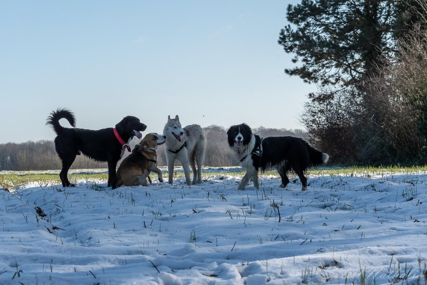 Border collie, Beagle et des congénères