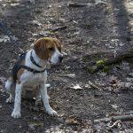 Beagle dans les bois