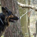 Berger dans la forêt