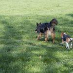 Berger de bohème suivi par un beagle