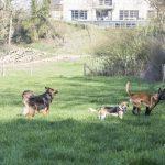 Malinois croisé Tervuren et beagle