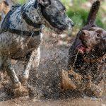 Labrador flaques d'eaux
