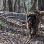 Léonberg marchant dans les bois