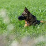 Berger Allemand dans l'herbe