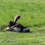 Border collie se roulant dans l'herbe