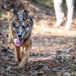 Berger Australien-allemand marchant dans les bois