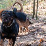 Rottweiler courant dans les bois