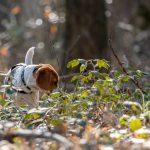 Beagle dans les ronces