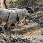 Golden retriever dans la boue