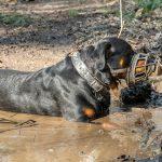 Rottweiler dans la boue