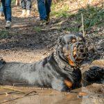 Rotweiller prenant un bain de boue