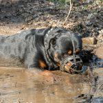 rottweiler dans son bain de boue