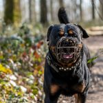 Rottweiler profitant du soleil