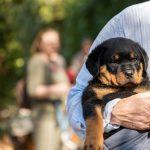 Chiot Rottweiler bien installé