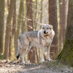 Chien Loup dans la forêt