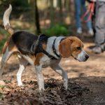 Beagle dans un tapis de feuilles mortes