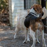 Beagle regardant par une grille