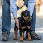 Chiot Rottweiler au sol