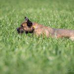 Chien dépassant à peine de l'herbe