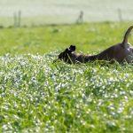 Chien sautant dans l'herbe