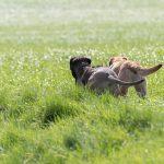 chiens dans les champs