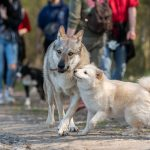 Chiot saluant un chien-Loup tchèque