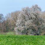 Belle pelouse et arbre en fleurs
