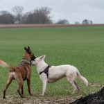 Berger blanc suisse et malinois se respectant