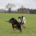 course pour un bâton entre chiens