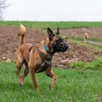 Malinois queue dressée